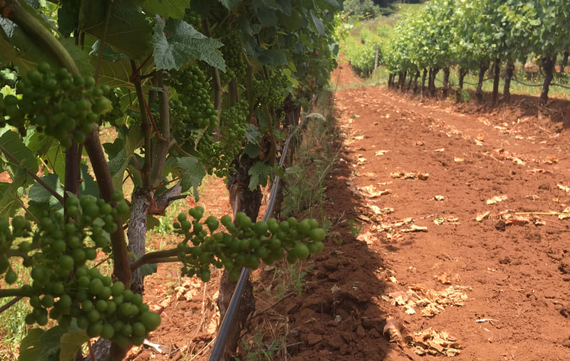 JC Somers Vintner Fruit on the vine